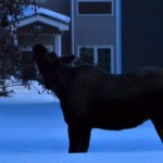 Moose in the Back Yard