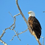 Our latest visitor, a Bald eagle
