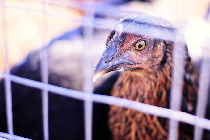 The Chickens | Cosmopolitan Cornbread