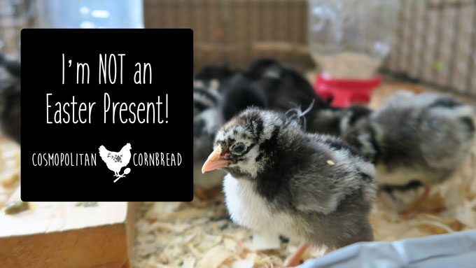 I'm Not an Easter Present! Why it is a very bad idea to buy chicks for kids' Easter baskets. | Cosmopolitan Cornbread