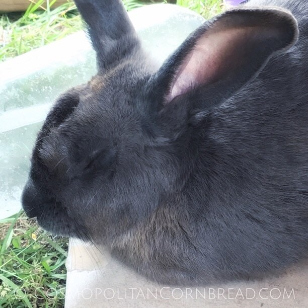 Rabbits do fairly well in cool temperatures, but when it comes to very hot weather, you have to take extra precautions.