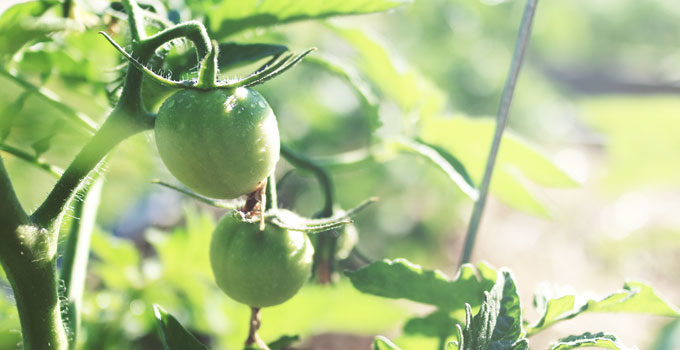 Growing Tomatoes? Get Rid of these Suckers! | A gardening tip from Cosmopolitan Cornbread