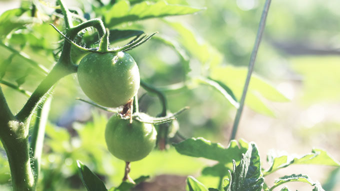 Growing Tomatoes? Get Rid of These Suckers!