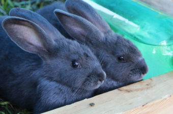 American Blue Rabbits are growing in popularity. Find our more about this heritage breed and whether we will sell any.