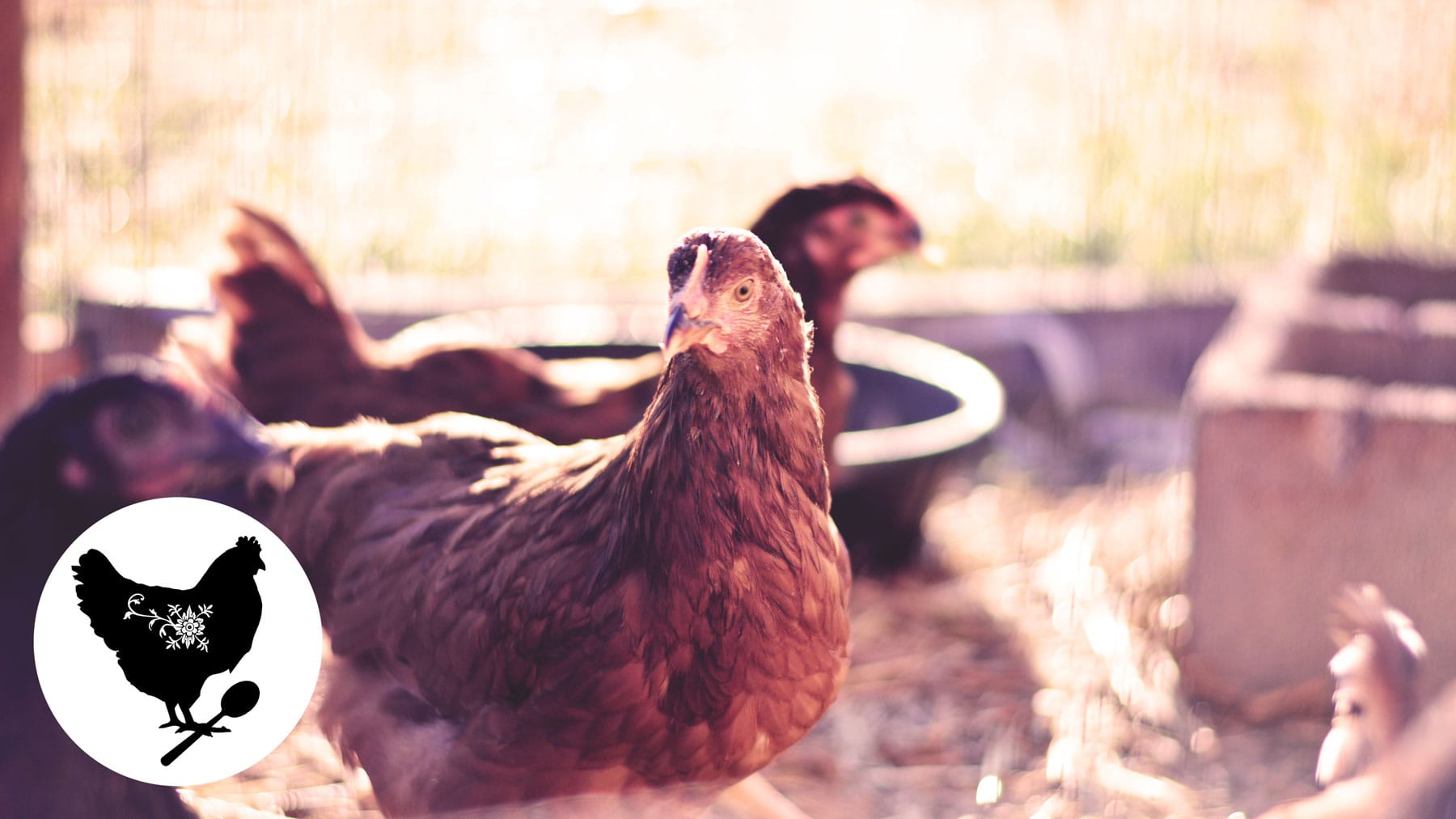 How to Add New Chickens to your Existing Flock