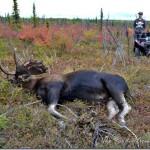 Harvesting a Moose