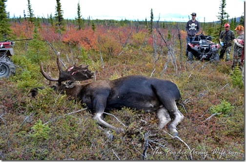 Harvesting a Moose