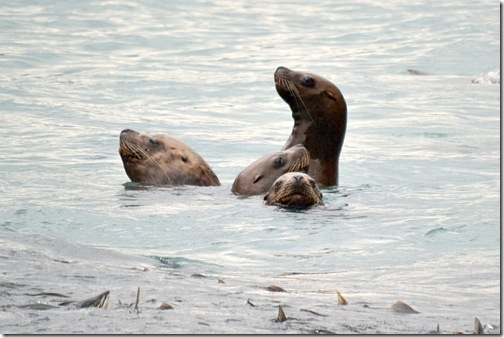 Sea Lions in Valdez, Alaska