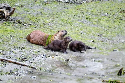 The Sea Otters in Valdez, Alaska