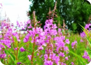 Fireweed for Fireweed Jelly