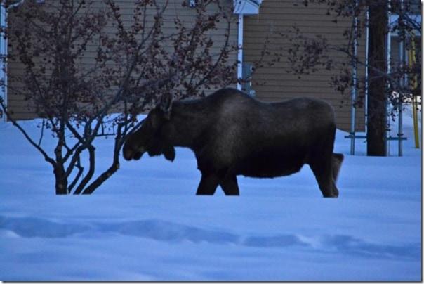 moose-1-1