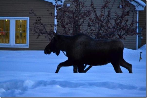 moose-1-2