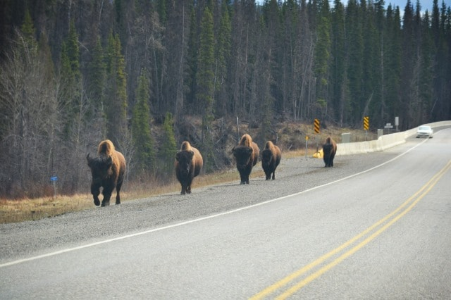 PCS 2013: Day 4 | To Fort Nelson, British Columbia … WILDLIFE!