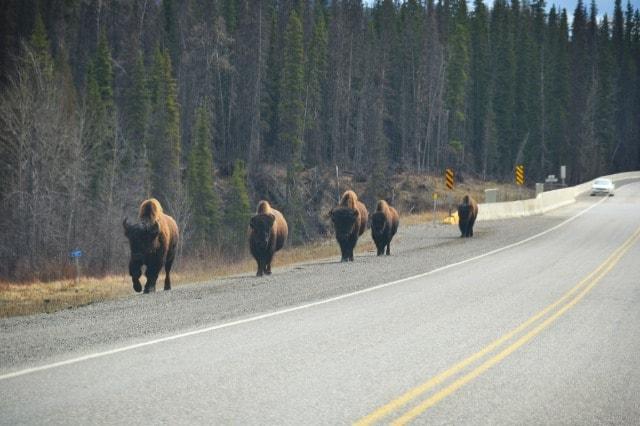 PCS 2013: Day 4 | To Fort Nelson, British Columbia #Wildlife