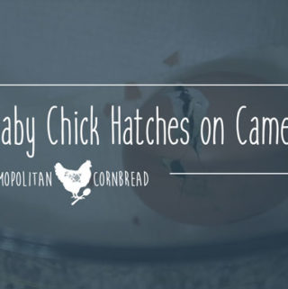 A Baby Chick Hatched on Camera!