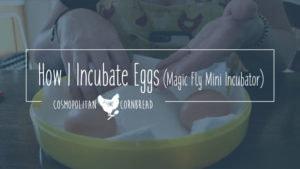 Incubating Eggs - how I make adjustments for using my Magic Fly mini incubator. | Cosmopolitan Cornbread