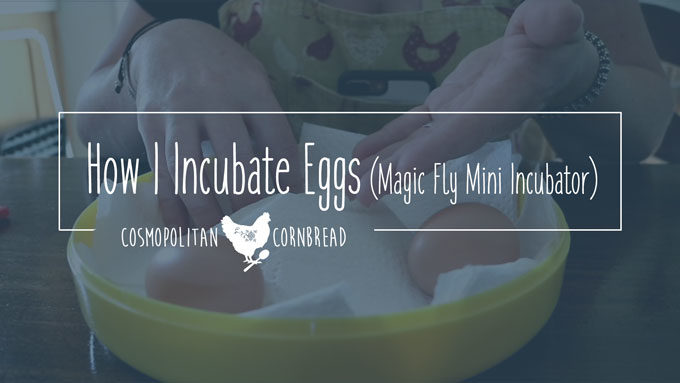 Incubating Eggs - how I make adjustments for using my Magic Fly mini incubator. | Cosmopolitan Cornbread