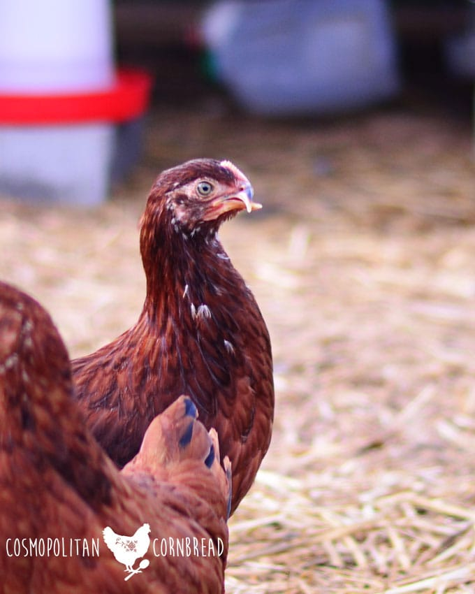 What is Scissor Beak in Chickens? Find out what it is, causes and possible treatment from Cosmopolitan Cornbread