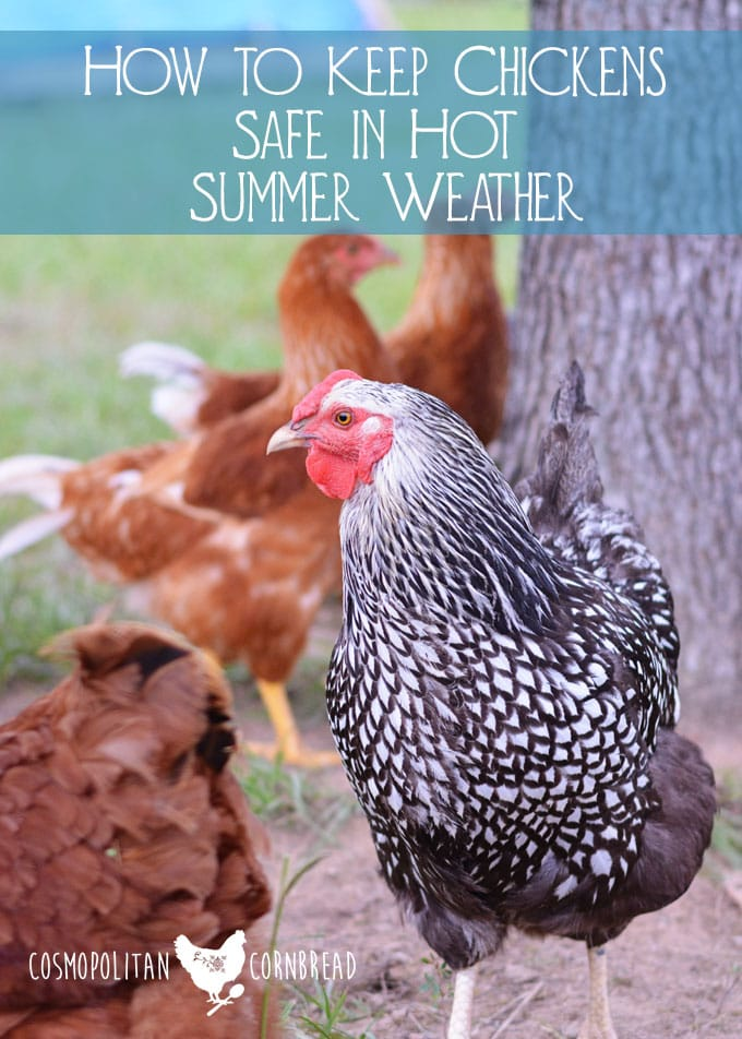 How to Keep Chickens Safe in Hot Summer Weather from Cosmopolitan Cornbread