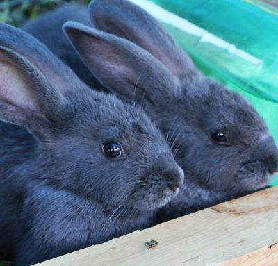 Our American Blue Rabbits