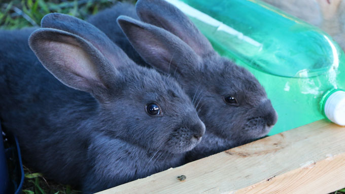 Purchasing our American Blue Rabbits