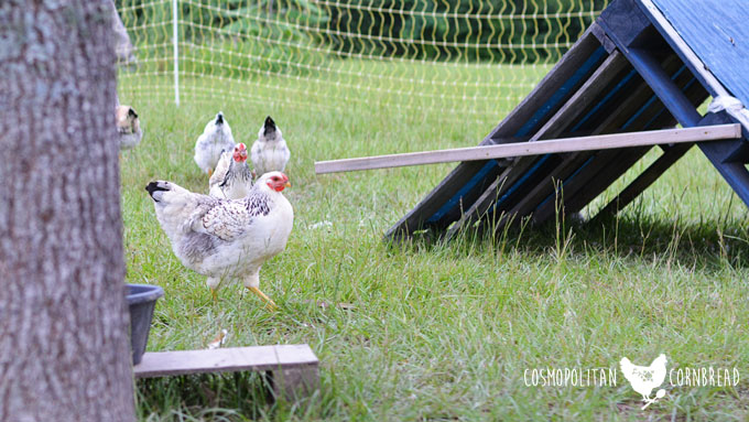 How to Keep Chickens Safe in Hot Summer Weather