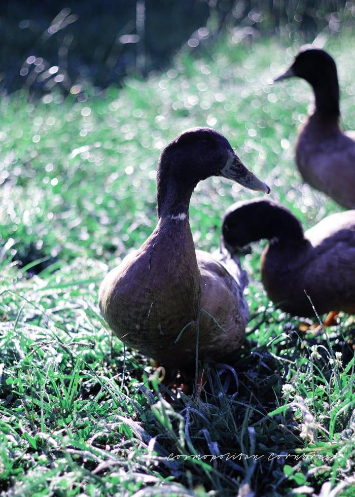 The Ducks   Cosmopolitan Cornbread Photography