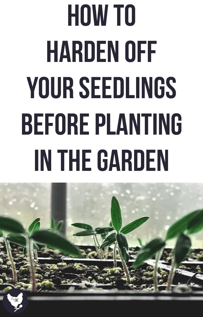 How to Harden Off your Seedlings Before Planting in the Garden | Cosmopolitan Cornbread