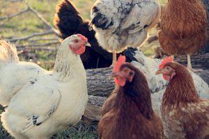 Crazy Way to Keep Flies Away From Your Chicken Coop