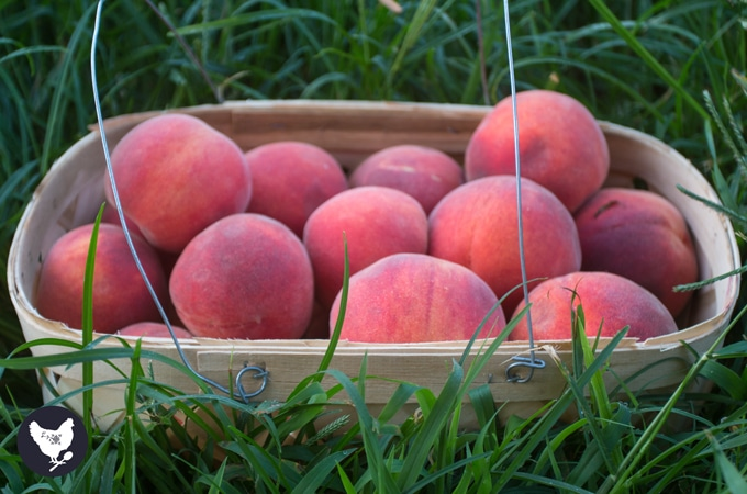 How to Freeze Peaches: Freezing fresh peaches while they are in season allows you the opportunity to enjoy that fresh peach flavor all year long.