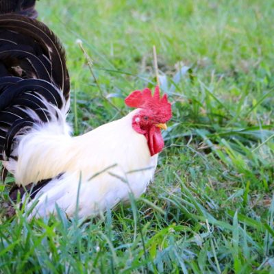 How To Tell if You Have a Rooster | A few tips for figuring it out!