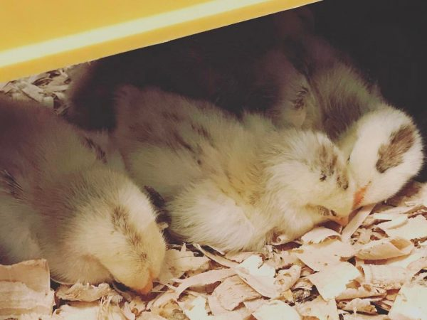 How to Set Up your Brooder from Cosmopolitan Cornbread
