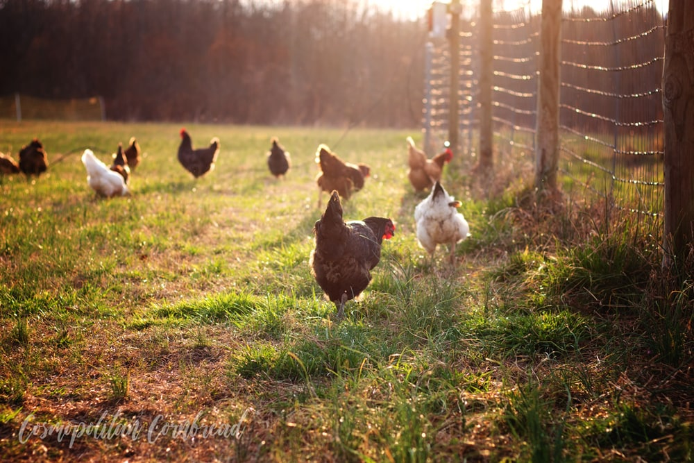 Should You Get Chickens or Chicks? Which is Better to Start With?