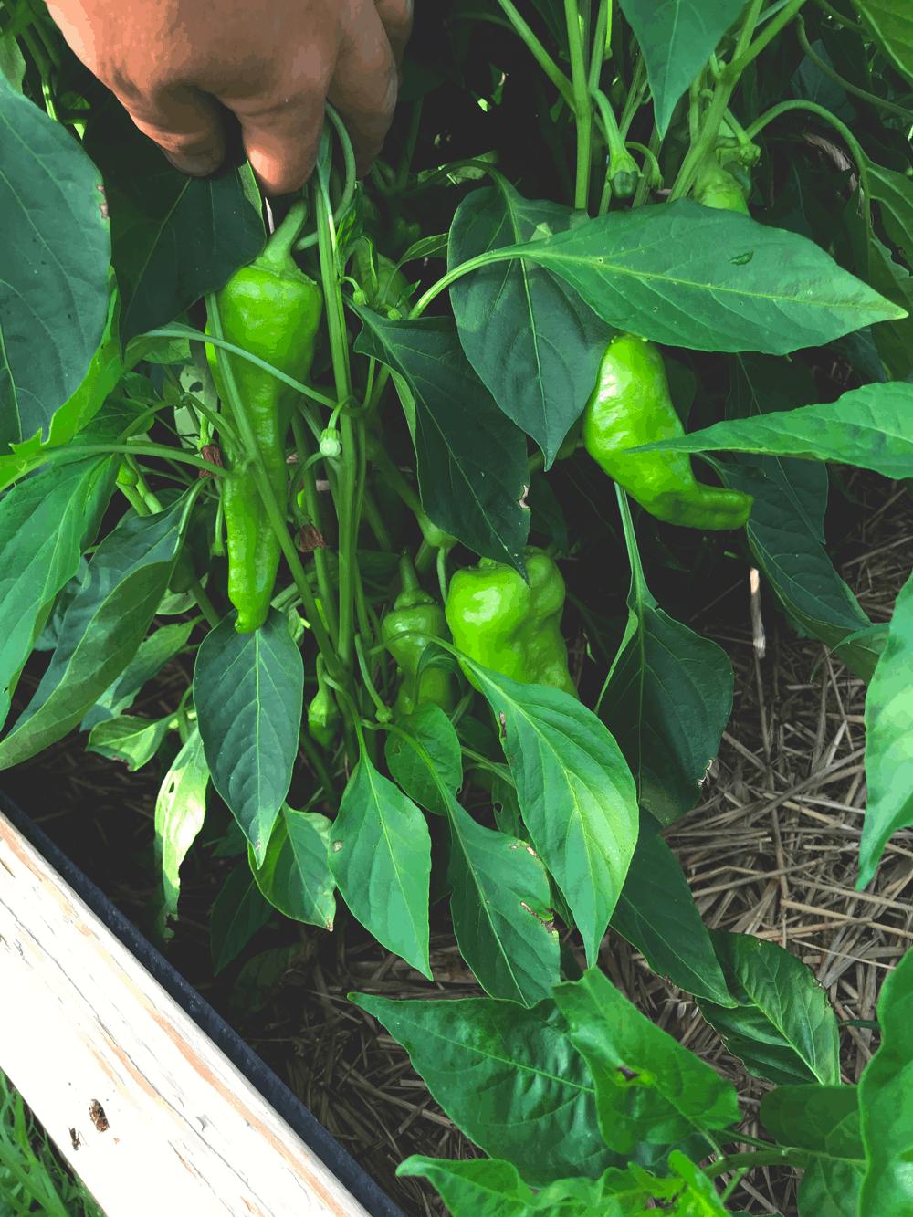 Cubanelle pepper plants in the garden