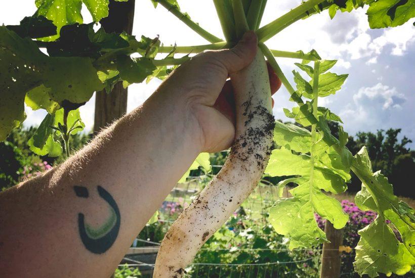 A Daikon Radish from the Garden