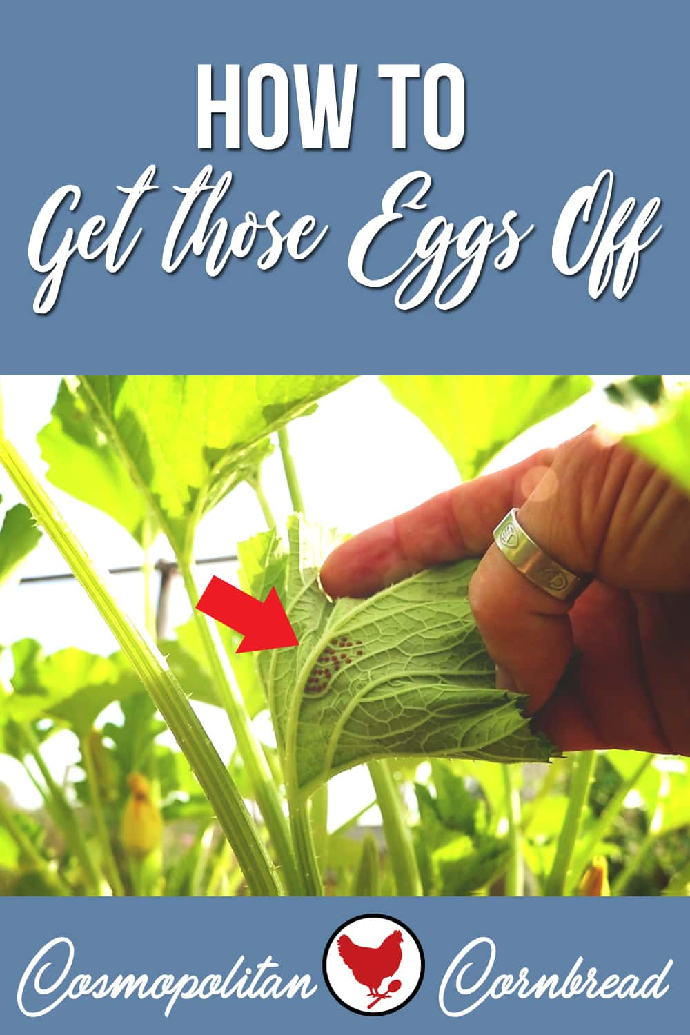 This quick trick is a garden saver. Truly! How to get squash bug eggs (and other bugs' eggs) off of your garden plants without harming the leaves.
