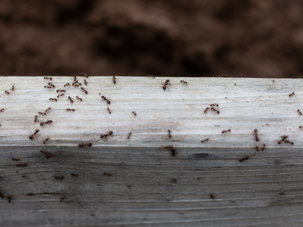 How to Kill Fire Ants Naturally - Safe, effective and natural way to get rid of fire ants in your yard or garden, even safe for organic gardens.
