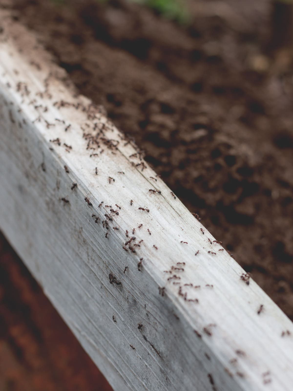 Fire Ants in a Raised Garden Bed