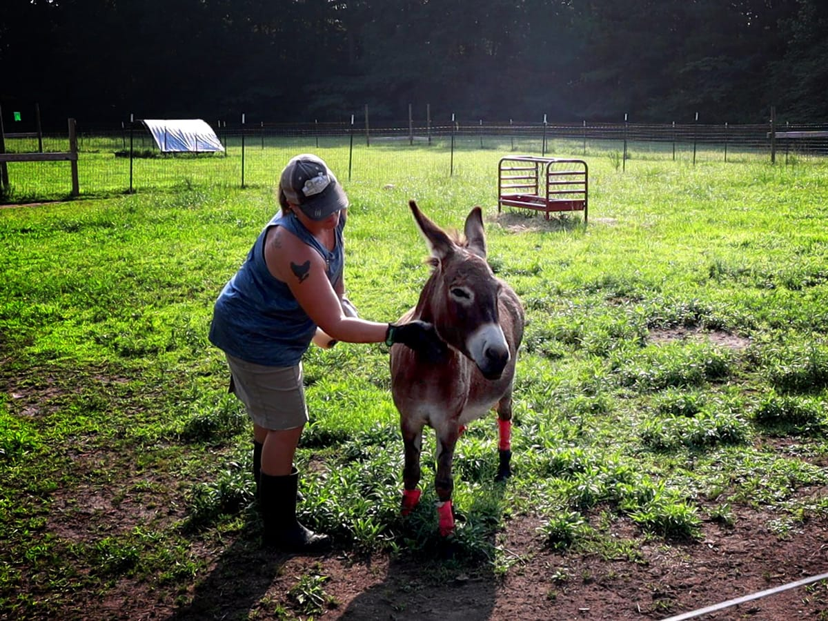 wiping the fly spray onto Sophie the miniature donkey