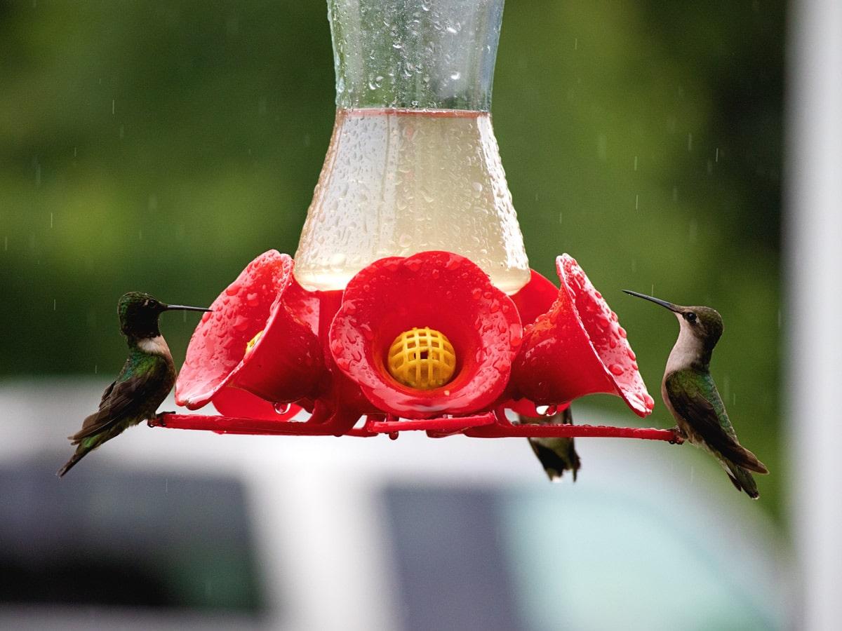hummingbirds around hummingbird feeder