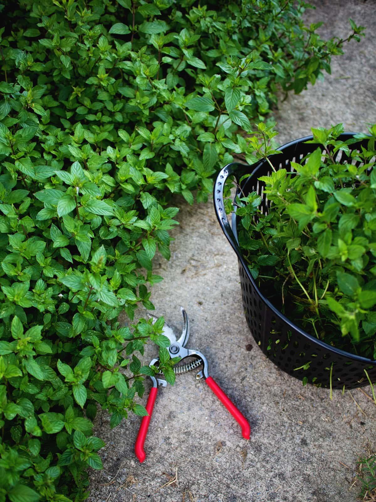 harvesting mint in the garden